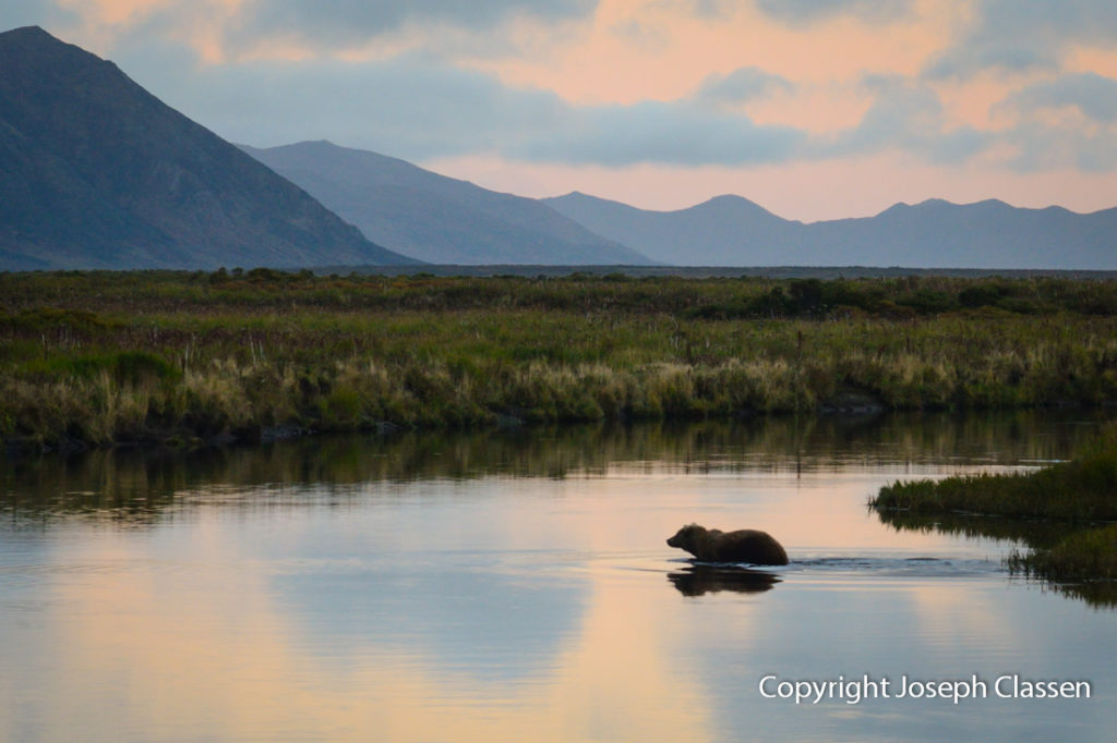 A Kodiak brown bear goes for a swim in the Ayakulik river. Joseph Classen.