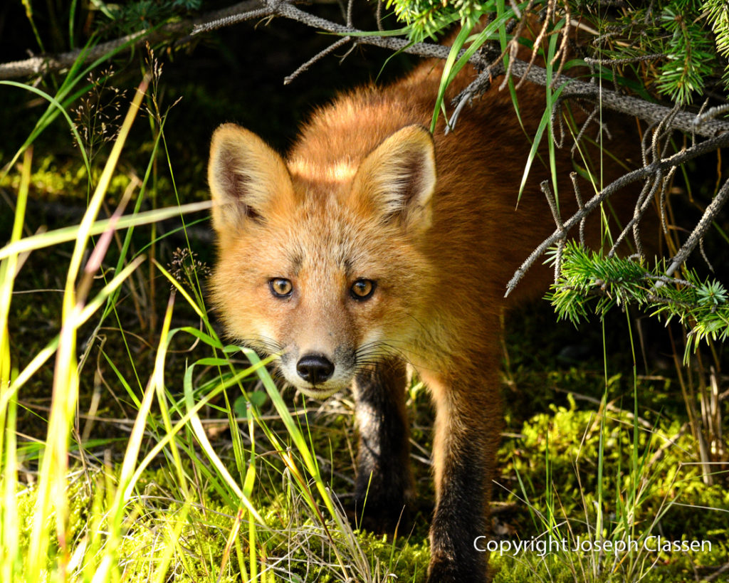 A beautiful red fox steps out of the brush along the Busking River. Kodiak Island, Alaska.