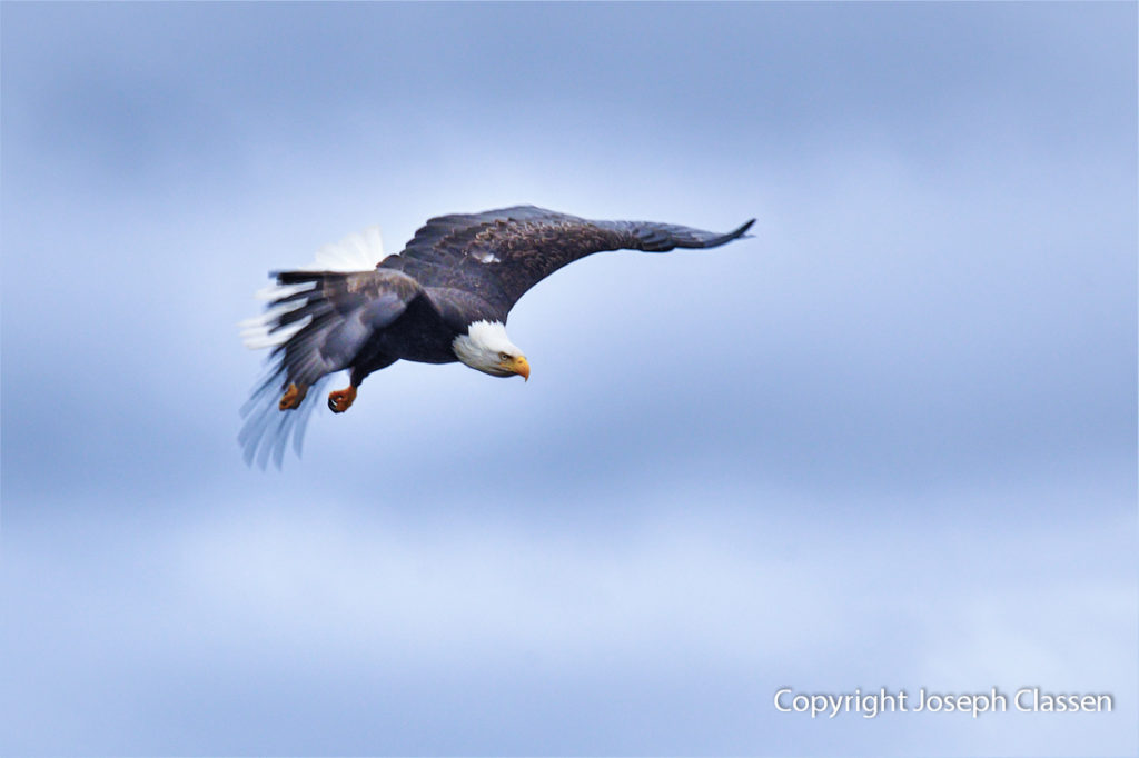 A bald eagle dramatically dives in for a landing. Kodiak Island Alaska. Joseph Classen.