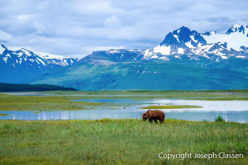 An Alaskan brown bear at Katmai National Park. Joseph Classen.