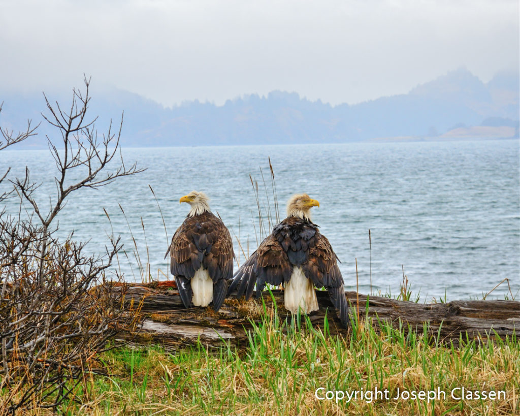 A pair of bald eagles drive their feathers after a rainy day on Kodiak Island Alaska. Joseph Classen.