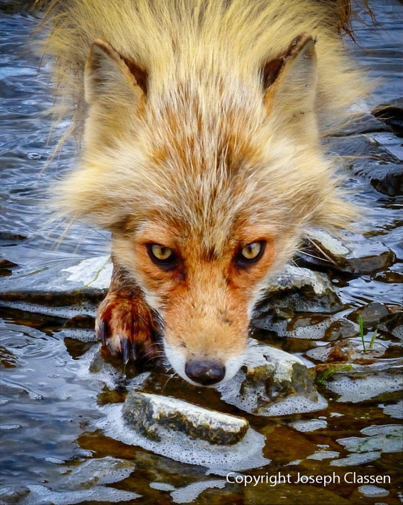 A fox takes a break from hunting to get a drink of water. Kodiak Island, Alaska. Joseph Classen.