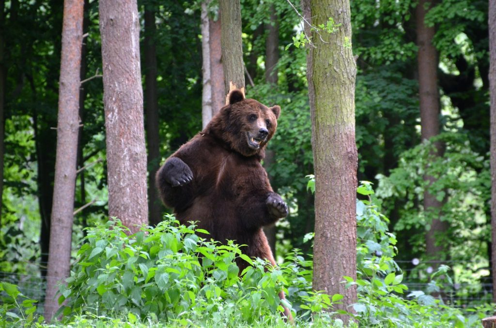 bear warning signs and body language: standing up on hind legs