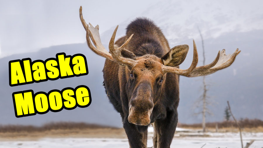 Alaska Animals – The Yukon-Alaska Moose
